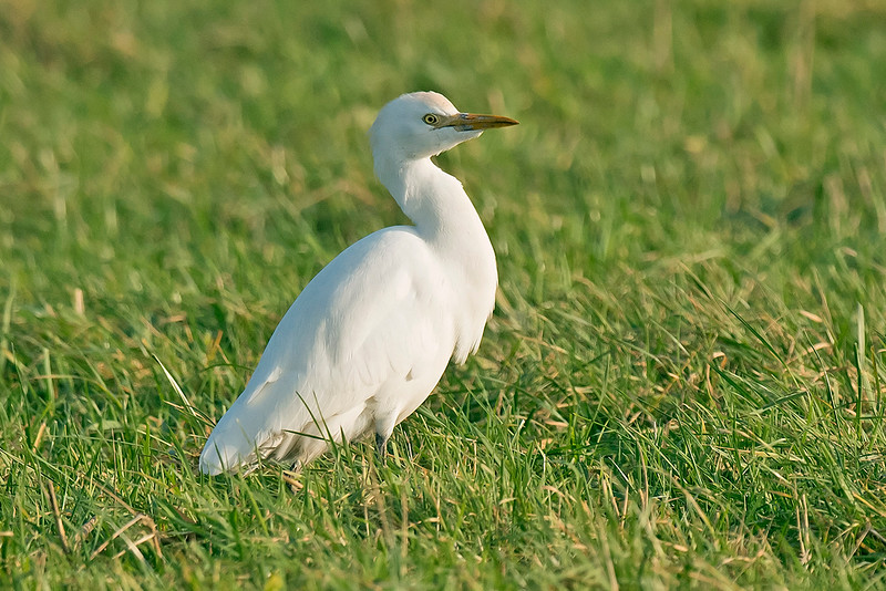 Cattle Egret 4 Hightown Lancs 20-12-16
