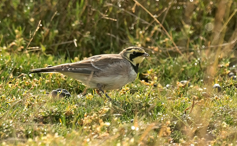 Shore Lark 2 Spurn