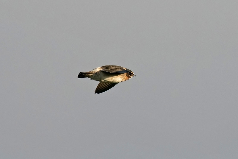 Cliff Swallow 2 Minsmere 5-11-16
