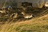 Baikal Teal 3 Marshside December 2013
