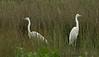 Great White Egrets Burton Mere RSPB 20-5-17