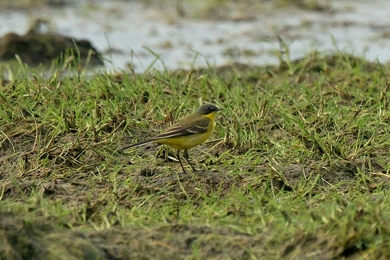 Grey-headed Wagtail Lunt Meadows NR May 2016