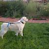Charlie, Gary & Kristin's Golden Retriever,  sees a bunny :)