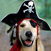 "Arrrrrr...a ""sea dog"" for Halloween: General Lee, my Golden ""Receiver.""<br /> <br /> Photographer's Name: J.R. Rosencrans<br /> Photographer's City and State: Alexandria, Ind."