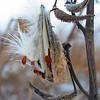 Frozen milkweed in the snow.<br /> <br /> Photographer's Name: Brian Fox<br /> Photographer's City and State: Anderson, Ind.