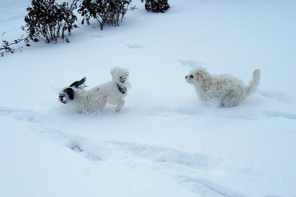 Feynman and Trudy playing in the snow.<br /> <br /> Photographer's Name: John Van Matre<br /> Photographer's City and State: Anderson, Ind.