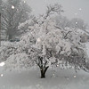 Cherry blossom tree during Sunday's big snow.<br /> <br /> Photographer's Name: H.A.  Pease<br /> Photographer's City and State: Anderson, Ind.