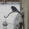 A backyard blue jay.<br /> <br /> Photographer's Name: H.A.  Pease<br /> Photographer's City and State: Anderson, Ind.