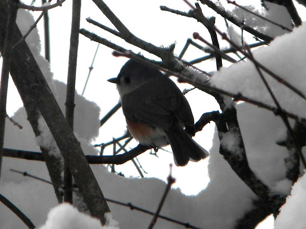 A titmouse hiding in the winter snow.<br /> <br /> Photographer's Name: Rita Drews<br /> Photographer's City and State: Anderson, Ind.