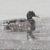 A duck in the snow.<br /> <br /> Photographer's Name: Brian Fox<br /> Photographer's City and State: Anderson, Ind.