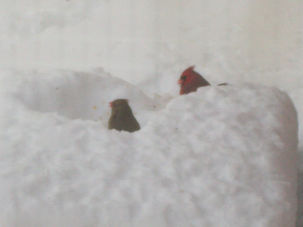 A pair of cardinals feeding after the big snow.<br /> <br /> Photographer's Name: H.A.  Pease<br /> Photographer's City and State: Anderson, Ind.