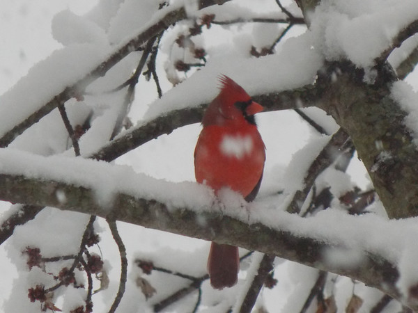After getting a half foot of snow, I took this picture out of my hallway window of a cardinal sitting in a tree.<br /> <br /> Photographer's Name: Ami Wooten (age 12)<br /> Photographer's City and State: Pendleton, Ind.