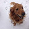 This is Graham, our son Tim's family pet, playing in our big snow we got recently.<br /> <br /> Photographer's Name: Shirley Alexander<br /> Photographer's City and State: Anderson, Ind.