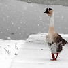 This little guy at Shadyside Lake did not mind the snow falling at all.<br /> <br /> Photographer's Name: Rita Drews<br /> Photographer's City and State: Anderson, Ind.