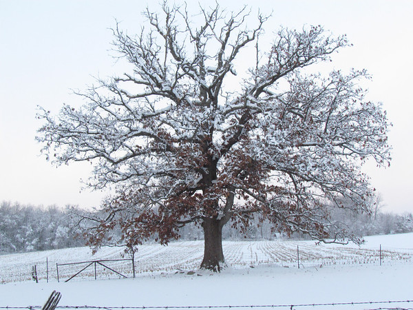 Tree standing in the snow.<br /> <br /> Photographer's Name: Brian Fox<br /> Photographer's City and State: Anderson, Ind.