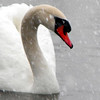 The swan at Shadyside Lake seemed to be content during the beginning of the first winter storm of 2014.<br /> <br /> Photographer's Name: Rita Drews<br /> Photographer's City and State: Anderson, Ind.