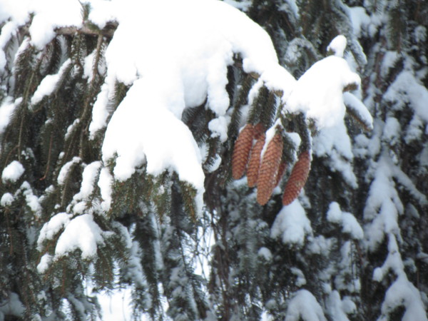 Pine cones in the green snow.<br /> <br /> Photographer's Name: Brian Fox<br /> Photographer's City and State: Anderson, Ind.