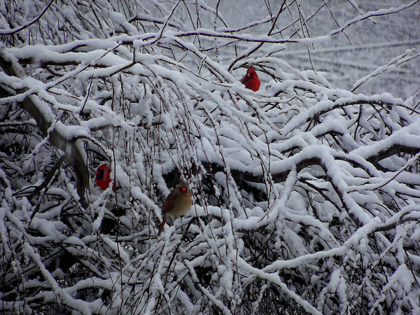 Cardinals enjoying the snow in our weeping crabapple tree.<br /> <br /> Photographer's Name: Debra Howell<br /> Photographer's City and State: Pendleton, Ind.