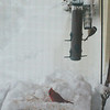 A cardinal, a chickadee and juncos feeding after the big snow.<br /> <br /> Photographer's Name: H.A. Pease<br /> Photographer's City and State: Anderson, Ind.