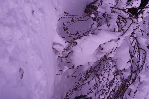 January 2014 snow with lilac filter.<br /> <br /> Photographer's Name: Laura Johnson<br /> Photographer's City and State: Alexandria, Ind.