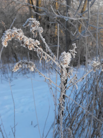 Winter weeds at my farm in Richland Township.<br /> <br /> Photographer's Name: J.R. Rosencrans<br /> Photographer's City and State: Alexandria, Ind.