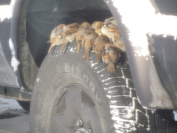 Birds on a tire. Birds huddled on a tire in the sub-zero temps.<br /> <br /> Photographer's Name: Brian Fox<br /> Photographer's City and State: Anderson, Ind.