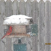 Cardinal getting a bite.<br /> <br /> Photographer's Name: JoAnna Mullins<br /> Photographer's City and State: Anderson, IN