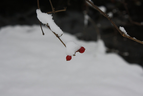 Winter berry II<br /> <br /> Photographer's Name: Rachel Landers<br /> Photographer's City and State: Anderson, Ind.