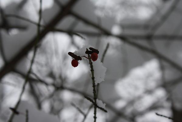 Winter Berry<br /> <br /> Photographer's Name: Rachel Landers<br /> Photographer's City and State: Anderson, IN
