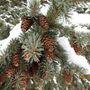 Lovely Winter Pine cones <br /> <br /> Photographer's Name: JoAnna Mullins<br /> Photographer's City and State: Anderson, IN