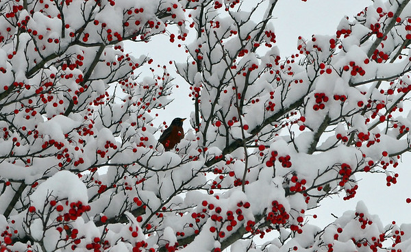 Dec. 29.  Robin enjoying the pretty snow in our tree<br /> <br /> Photographer's Name: Teresa Lindsey<br /> Photographer's City and State: Pendleton, IN