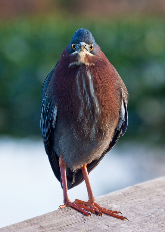 "Intense Green Heron<br /> <br /> 20""x26"" Framed signed archival print<br /> $275"