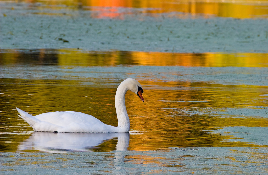 "Female Swan, Audubon, Norfolk,Mass.<br /> <br /> 22""x29"" Framed and signed archival print<br /> $375"