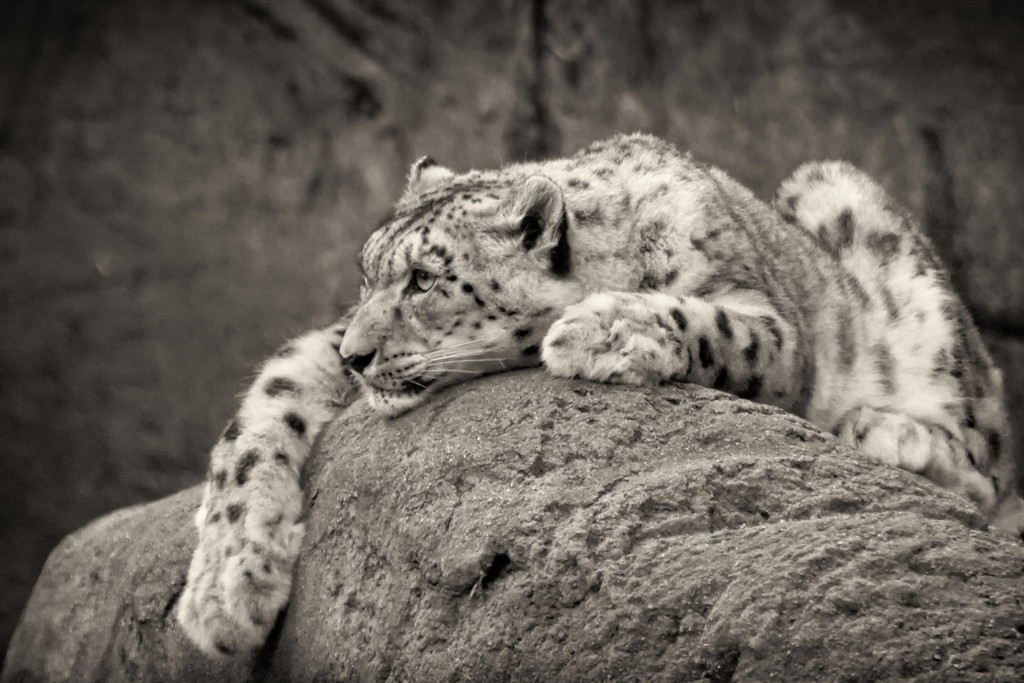 "Snow Leopard<br /> <br /> 20""x26"" Framed signed archival print<br /> $275"