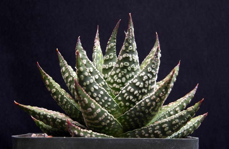 Haworthia pumila hybrid
