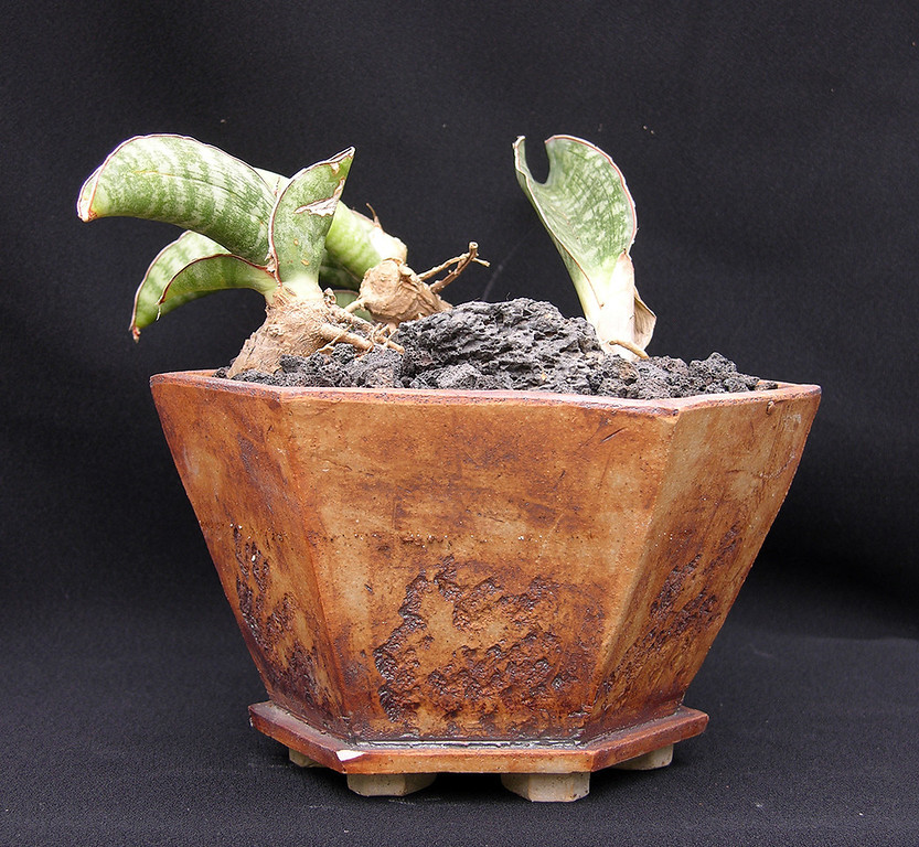Sansevieria elliptica hybrid potted for the May 10-11 2013 Sale at Xiem