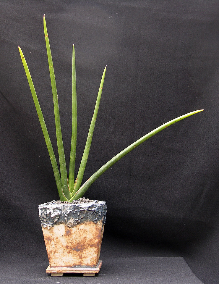 Sansevieria erythraeae potted for the may 10-11 2013 sale at Xiem