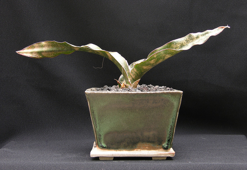 Sansevieria kirkii v pulchra potted up for the May 10-11 2013 Sale at Xiem
