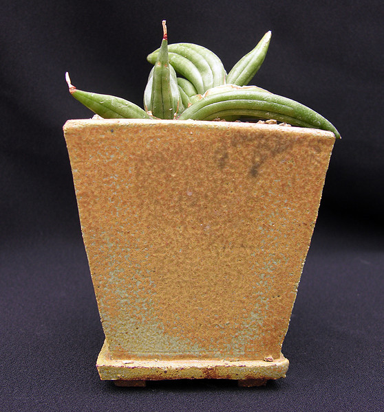 Sansevieria 'Ed Eby' potted for the May 10-11 2013 sale at Xiem