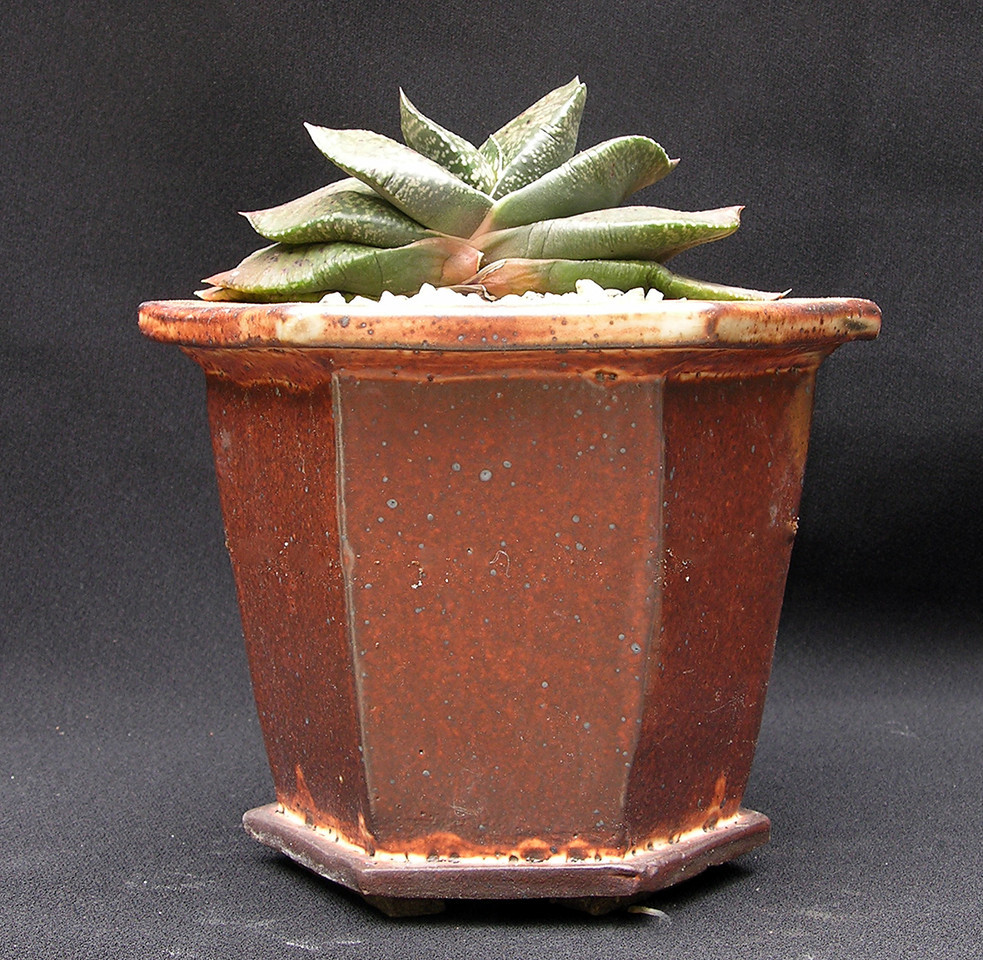 Gasteria armstrongii 'Fernwood' potted for the May 10-11 2013 Sale at Xiem