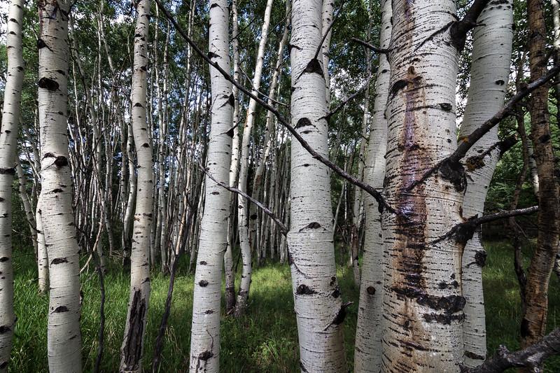 Aspen Grove, Pike National Forest, Colorado