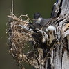 1st kingbird nest - wind came up / losing it