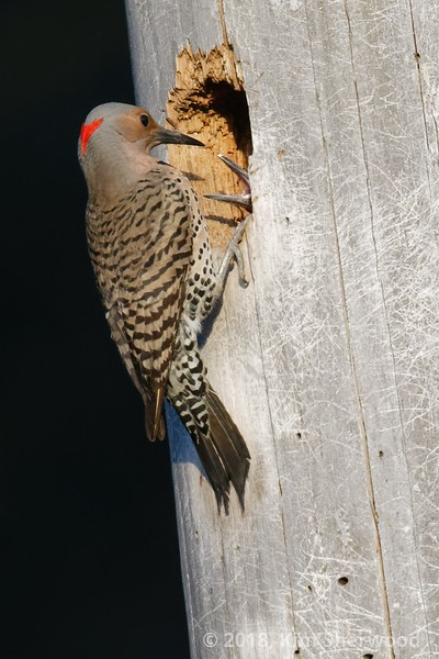 More than ready (Northern flicker)