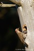 2.25 mouths to feed (Northern flicker)