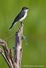 King fisherman (Eastern kingbird)