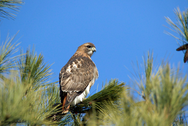Redtail Hawk on the Colonial Parkway at College Creek