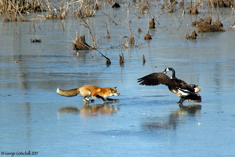 Frozen Henricus standoff between fox and goose