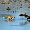 Frozen Henricus standoff between fox and goose