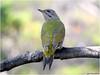 Gråspett<br /> <br /> Grey - headed woodpecker