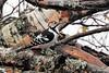 Hvitryggspett<br /> <br /> White-backed woodpecker